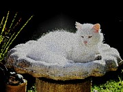Sunbath Posters - White cat taking a sunbath in a birdbath Poster by Werner Lehmann