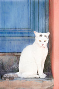 White Cat Print by Tom Gowanlock