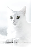 Looking At Camera Art - White Cat by Vilhjalmur Ingi Vilhjalmsson