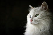 Green Eyes Photos - White Cat With Dignity by Hiu-Ming Eric Lam & 2To1 Photography
