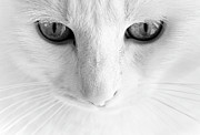 Animal Eye Framed Prints - White Cat With Gray Eye Framed Print by Vilhjalmur Ingi Vilhjalmsson