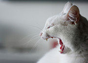 Mouth Open Prints - White Cat Yawning Print by Vilhjalmur Ingi Vilhjalmsson