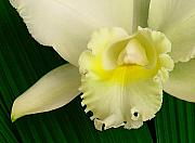Molokai Art - White Cattleya Orchid by James Temple