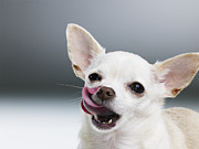 Anticipation Framed Prints - White Chihuahua Licking Lips, Close-up, Portrait Framed Print by Thomas Barwick