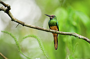South America Prints - White Chinned Jacamar Print by Rebecca Yale