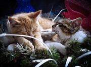 Ice Skates Photos - White Christmas w Two Kittens Sleeping - Orange Tabby Cat and Maine Coon Kitty Resting on Ice Skates by Chantal PhotoPix