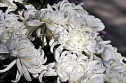 White Clay Prints - White Chrysanthemum Print by Clayton Bruster