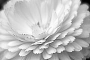 Chrysanthemum Art - White Chrysanthemum by Steven Wilson