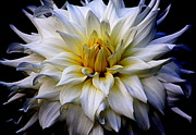 Flower Photographs Prints - White Chrysanthemum Print by Tam Graff