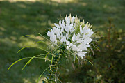 Cleome Flower Framed Prints - White Cleome Framed Print by Michael Bessler