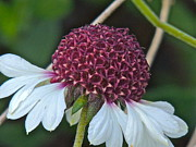 White Coneflower Print by Eve Spring