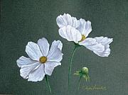 Bud Drawings Framed Prints - White Cosmos Framed Print by Phyllis Howard