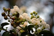 Kayecee Spain Acrylic Prints - White Crape Myrtle- Fine Art Acrylic Print by KayeCee Spain