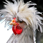 Rooster Photos - White Crested Blue Polish Cockerel by Karon Melillo DeVega