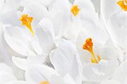 Flower Blooming Photos - White crocus blossoms by Elena Elisseeva