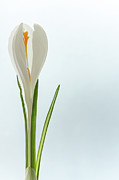 Crocus Framed Prints - White Crocus Framed Print by Daniel Kulinski