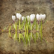 Sonya Kanelstrand Prints - White crocuses in pastel colors Print by Sonya Kanelstrand