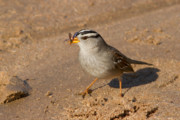 Orange County Art - White crowned sparrow by Carl Jackson