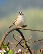 Feeding Birds Photo Prints - White Crowned Sparrow Print by Laura Mountainspring