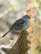 Immature Photos - White-Crowned Sparrow  by Saija  Lehtonen