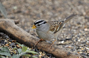 Feeding Birds Photos - White Crowned Sparrow with Seeds by Laura Mountainspring
