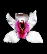 Flower Works Photos - White Cymbidium Orchid. by Chris  Kusik