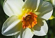 Daffodils Posters - White Daffodil Poster by Svetlana Sewell