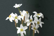 Drawing Pyrography Originals - White Daffodils by Stefan Petrovici