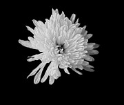 Assorted Framed Prints - White Dahlia Blossom Framed Print by Marsha Heiken