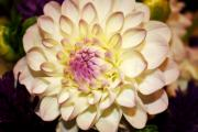 Decor Photography Prints - White Dahlia Print by Cathie Tyler