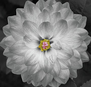 Extreme Floral Images - White Dahlia by Kathy Dahmen