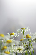 Concept Photo Metal Prints - White Daisies Metal Print by Carlos Caetano