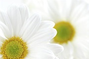 Flora Photo Posters - White daisies Poster by Elena Elisseeva
