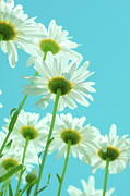 Featured Art - White Daisies On Aqua Color Sky by Poppy Thomas-Hill