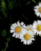 Bellis Posters - White Daisy Bellis Flower Weed . 7D5838 Poster by Wingsdomain Art and Photography