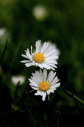 Bellis Posters - White Daisy Bellis Flower Weed . 7D5853 Poster by Wingsdomain Art and Photography
