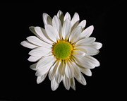 Flower Works Photos - White Daisy. by Chris  Kusik