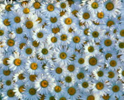 David Nunuk - White daisy flowers 2