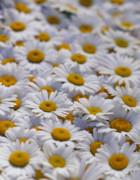 White Daisies Photos - White daisy flowers by David Nunuk