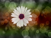 Statigram Prints - White Daisy in a Sunset Print by Marianna Mills