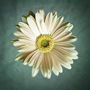 Tamyra Ayles - White Daisy