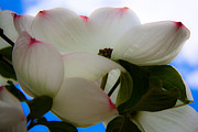 Dogwood Photos - White Dogwood Flower by David Patterson
