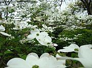 Dogwood Photos - White Dogwood Flowers 6 Dogwood Tree Flowers Art Prints Baslee Troutman by Baslee Troutman Art Print Collections