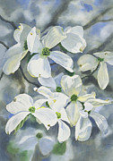 White Flowers Paintings - White Dogwood by Sharon Freeman
