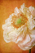 Textured Effect Prints - White Double Poppy Print by © Leslie Nicole Photographic Art