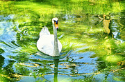 Photo Tapestries - Textiles Posters - White duck Poster by Benny  Woodoo