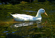 Laurie Penrod - White duck