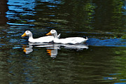 Sterne Prints - White Ducks at Sterne Park Print by Stephen  Johnson