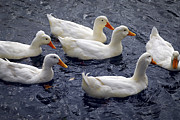 Swim Photos - White ducks by Elena Elisseeva