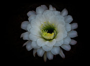 White Flower Photos - White Echinopsis Flower  by Saija  Lehtonen